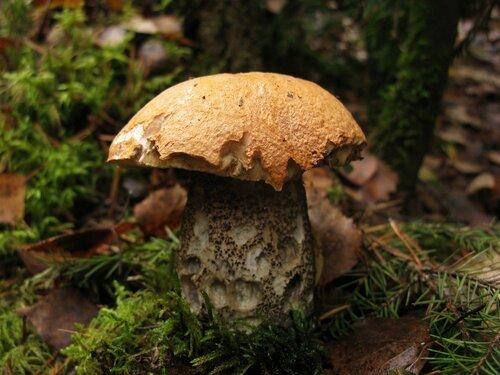 Последний молодой экземпляр попался в смешанном лесу 23-го октября Автор фото: Станислав Кривошеев