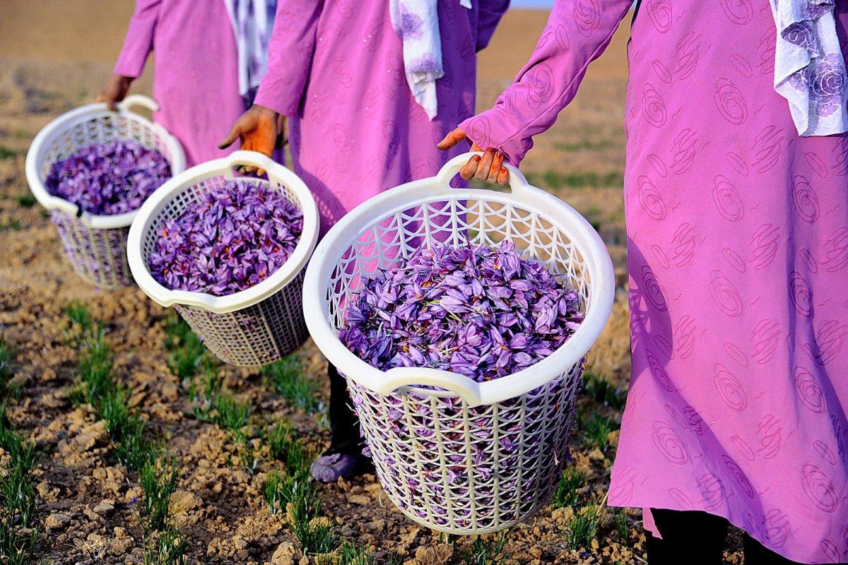 Сбор шафрана на фестивале в Толедо