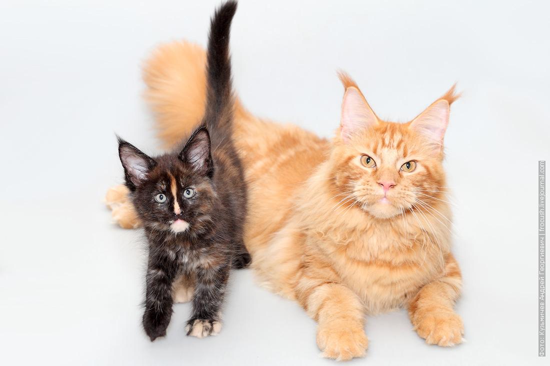 мейн-кун продам котенка