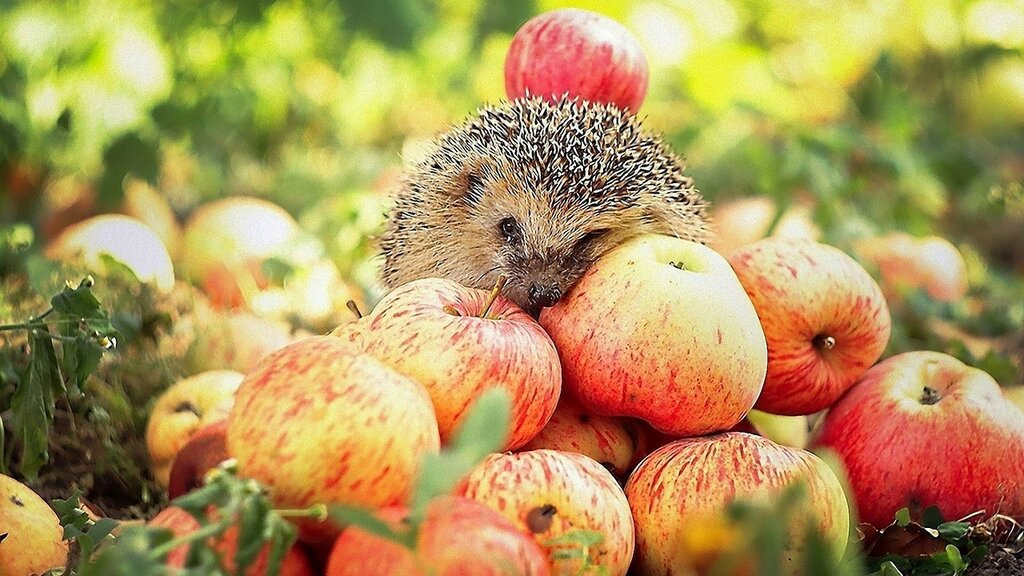 Hedgehog-And-Apples_1920x1080.jpg