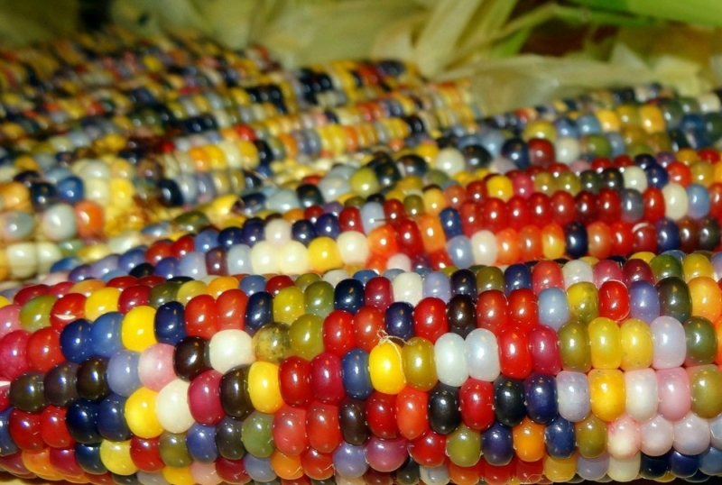 Самая интересная и красивая в мире цветная кукуруза