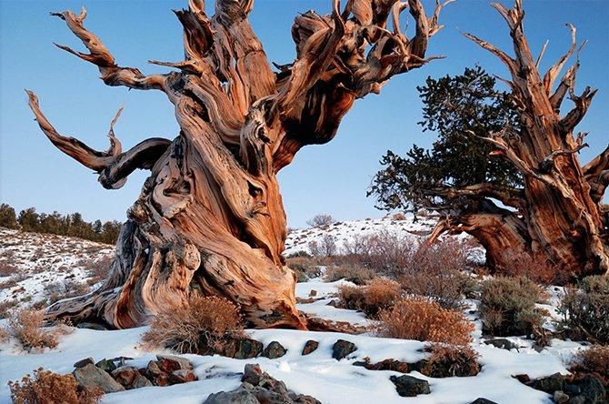 1. Сосна Бристлекон Эти деревья произрастали еще в те времена, когда на месте современной Турции рас