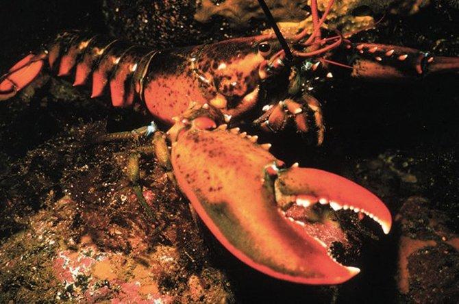 6. Американский омар Этот вид омаров обладает самовосстанавливающимся ДНК. Своей вечной молодостью о