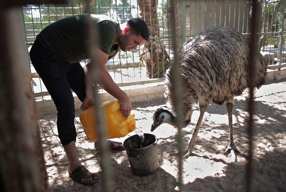 11. Эвакуация животных из зоопарка в Газе. (Фото Ibraheem Abu Mustafa | Reuters):