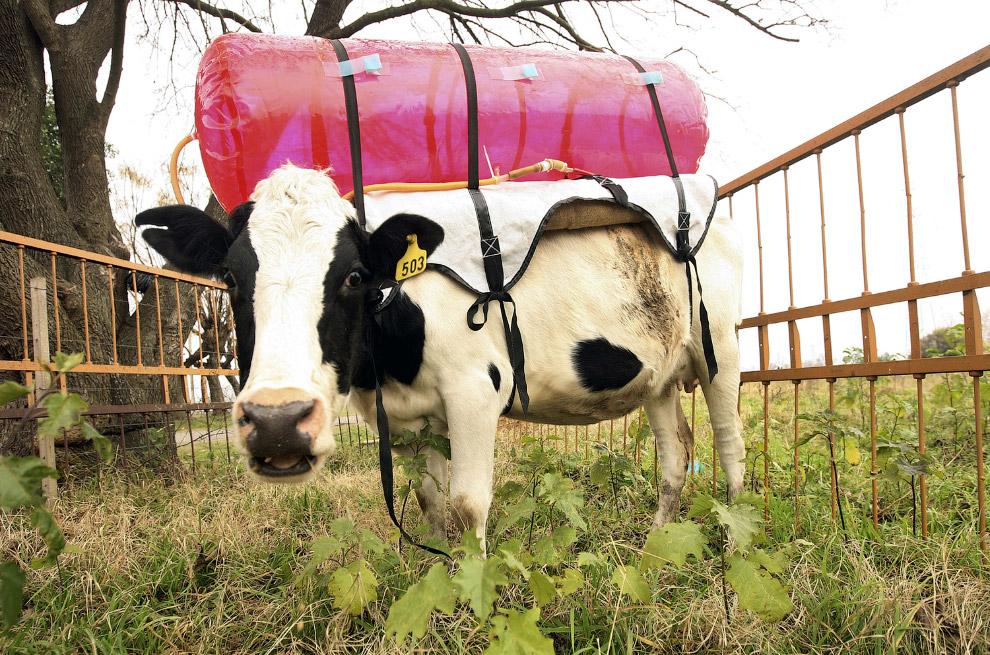 17. Коровы-кайтсерферы. Черногория, 19 мая 2015. (Фото Armend Nimani):