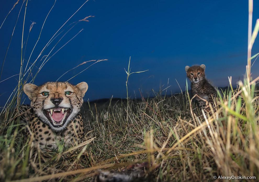 3. Примечание: голова гепарда спроектирована природой так, чтобы большая часть занимала дыхател