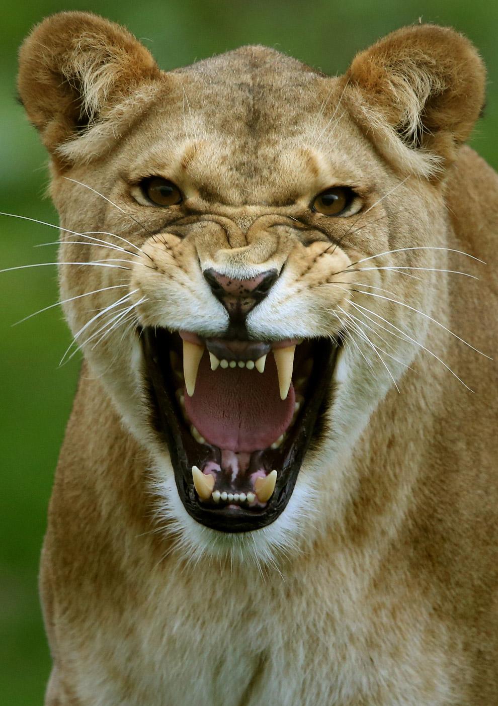 5. Мама бдит и всегда готова к атаке на врага. (Фото Andrew Milligan):