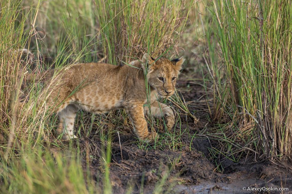 13. Львы относятся к хищникам, имеющим два типа социальной организации. Чаще всего они проживаю