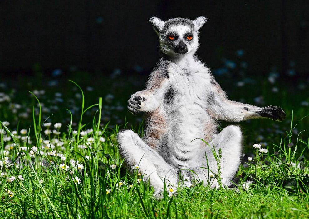 14. Некуда спешить. Коала в зоопарке в Лейпциге, Восточная Германия. Даже если коала не спит, о