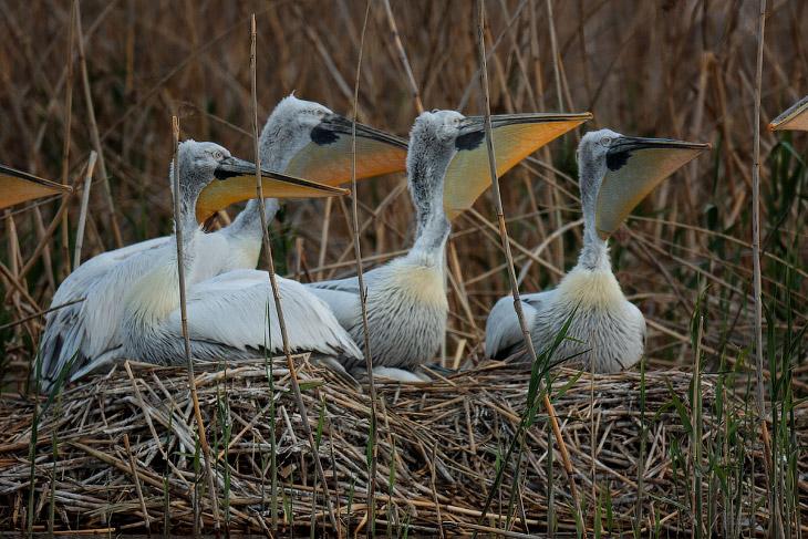 2. Периодически, пеликаны сидящие на гнездах, издают гортанные звуки. Мне показалось что они извещаю