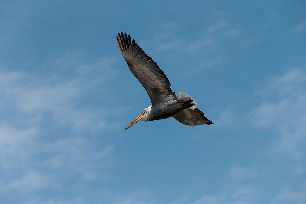 11. Один за другим прилетают пеликаны на гнезда к своим супругам. Приносят рыбу и тут-же отправ