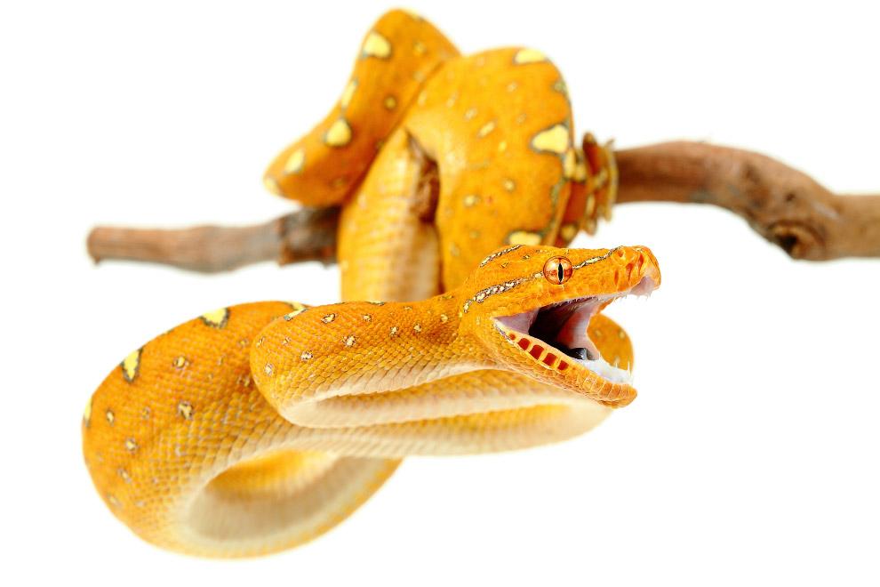 8. Еще один древесный питон. Молодые животные жёлтого или красного цвета — они живут вне тропич
