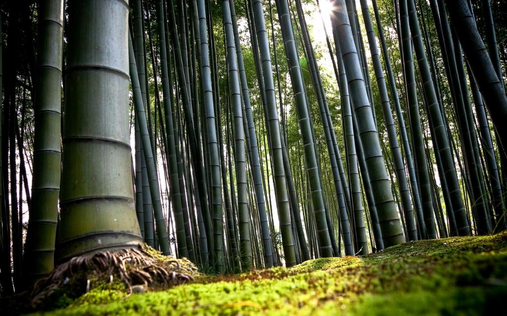 Бамбуковые рощи в фотографиях (27 фото)