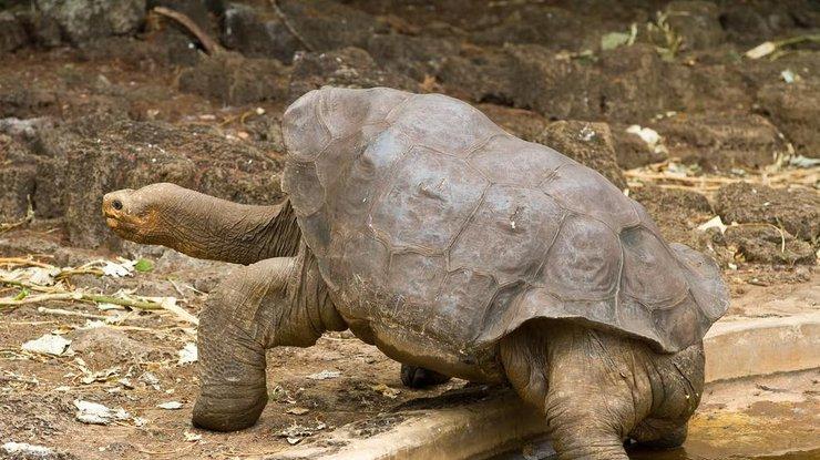 Любвеобильный самец галапагосской черепахи водиночку спас свой вид отвымирания