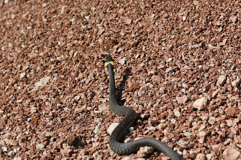 Уж обыкновенный (Natrix natrix) убегает по каменной крошке карьера