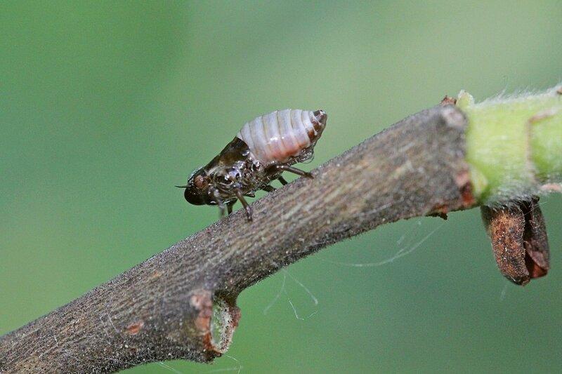 Слюнявица ивовая, она же пенница ивовая (лат. Aphrophora salicina), личинки которой на ветках дерева строят себе убежище из пены, похожее на плевок