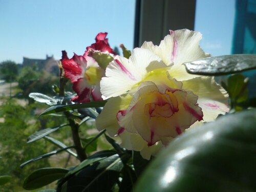 Летнее домашнее цветение адениума