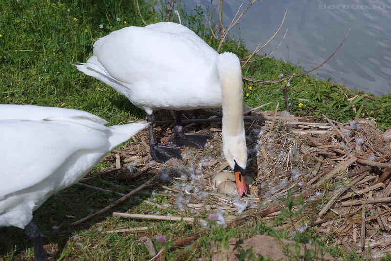 Лебеди-шипуны Cygnus olor