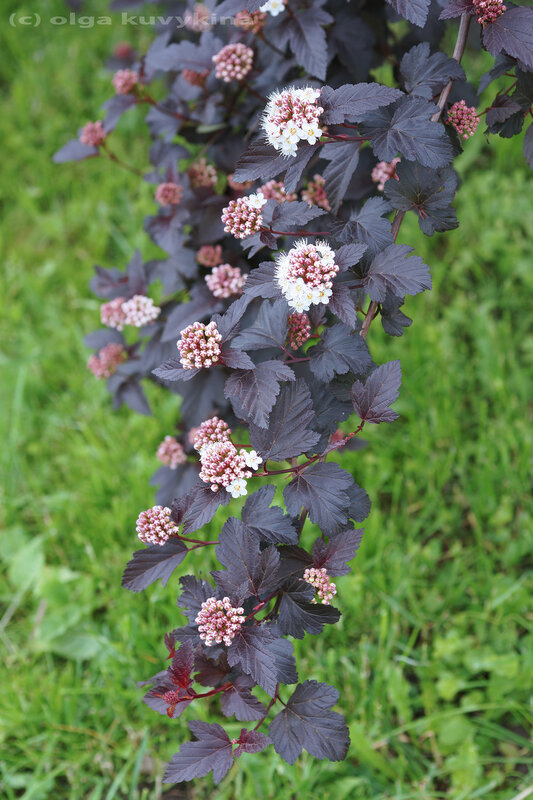 Пузыреплодник Physocarpus Розоцветные
