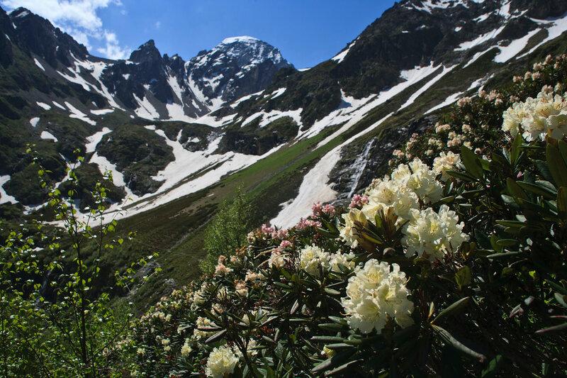 Цветущие рододендроны на фоне пика София.