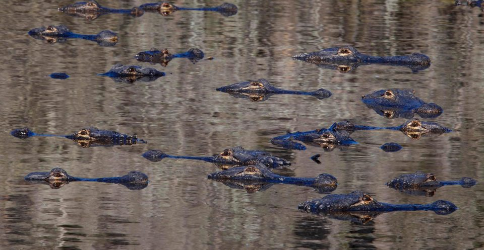 Сотни аллигаторов собирались возле водоема во Флориде