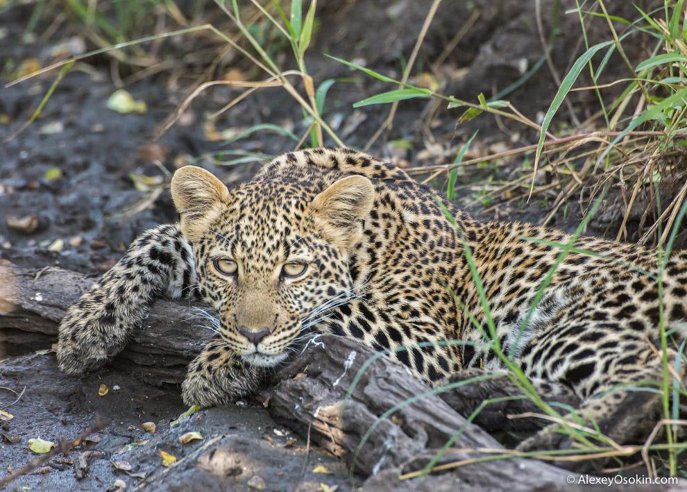 8. Несмотря на то, что леопард самый маленький представитель рода пантер, у него самый сильный