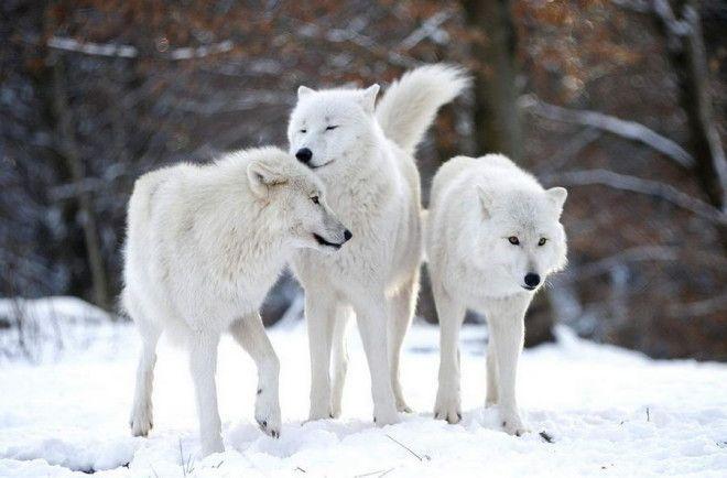 Арктический волк Арктический волк тоже очень красив и статен. Шерсть его бело-серая, морда вытянутая