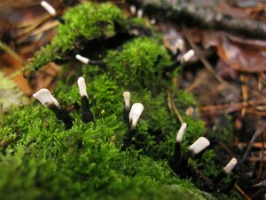 Ксилария древесинная (Xylaria hypoxylon)