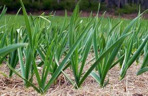 Выращивание чеснока в промышленных масштабах