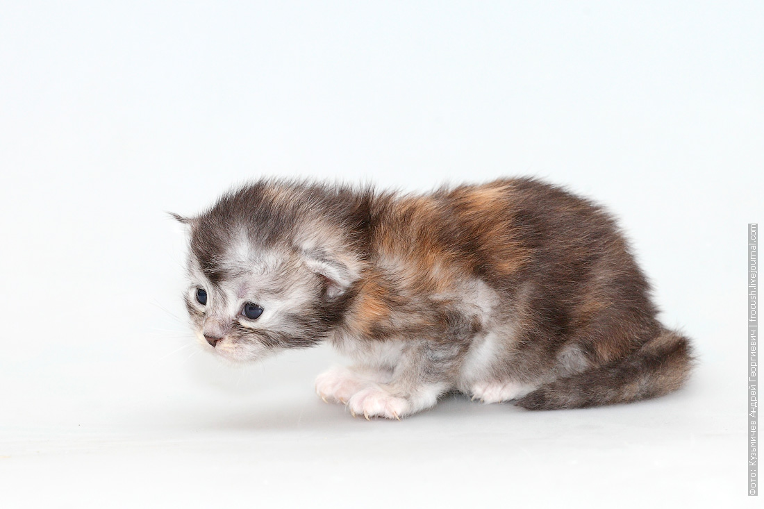 питомник в Москве котенок мейнкун