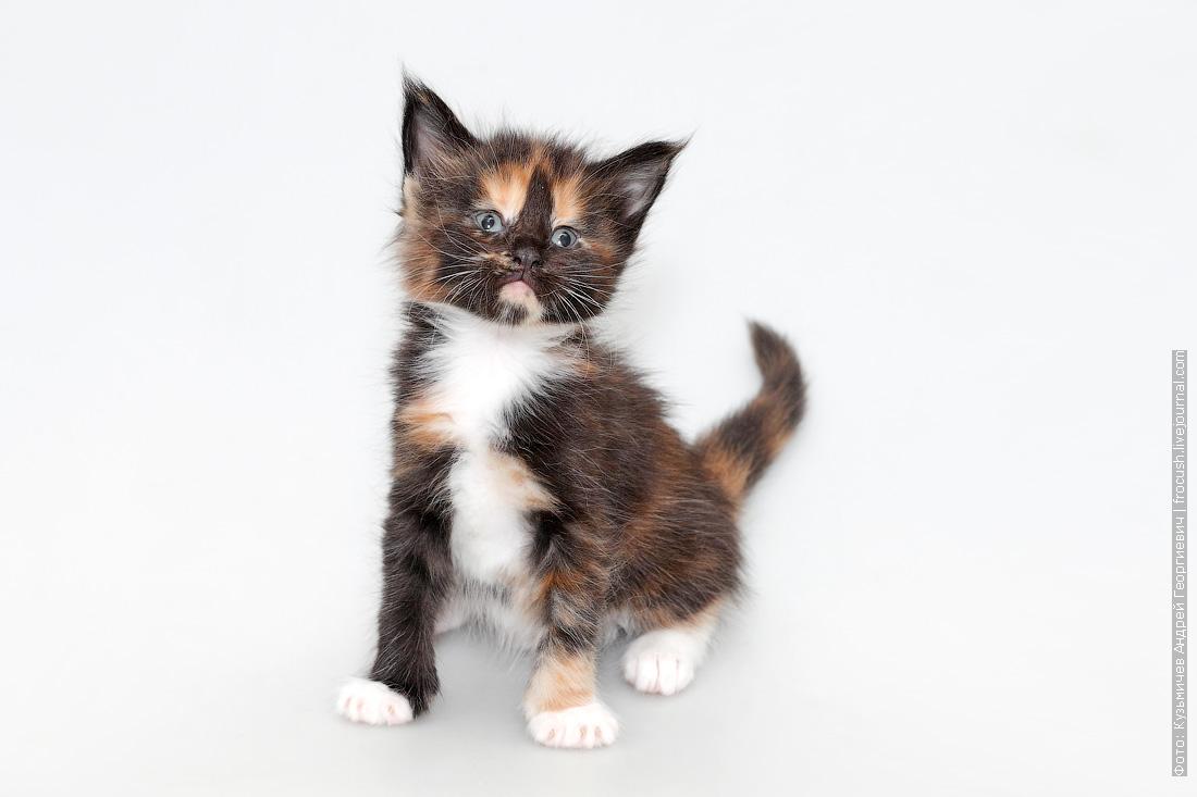 котенок мейн-кун москва