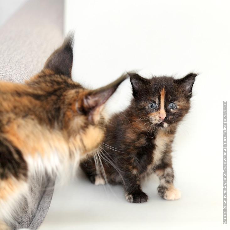 взрослая кошка мейн-кун и котенок мейн-кун