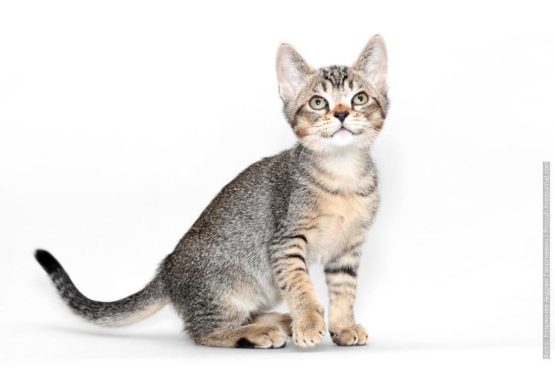 бомбейский котенок из питомника