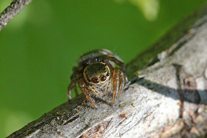 скромный паук - эмоции паука-скакунчика с серой шерсткой, четырьмя большими глазами спереди и короткими лапками