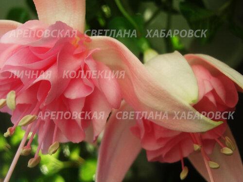 НОВИНКИ ФУКСИЙ. - Страница 5 0_15340e_31b50652_L