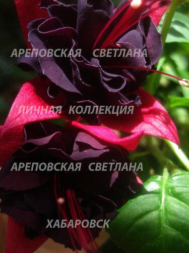НОВИНКИ ФУКСИЙ. - Страница 5 0_157e9d_a52656dc_L