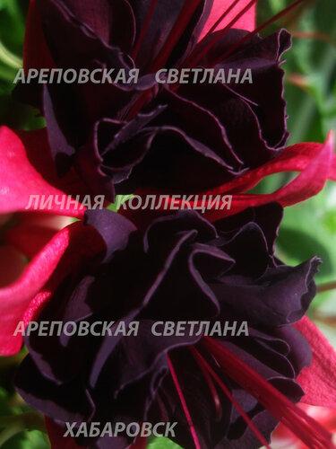 НОВИНКИ ФУКСИЙ. - Страница 5 0_157e9f_3a75b50_L