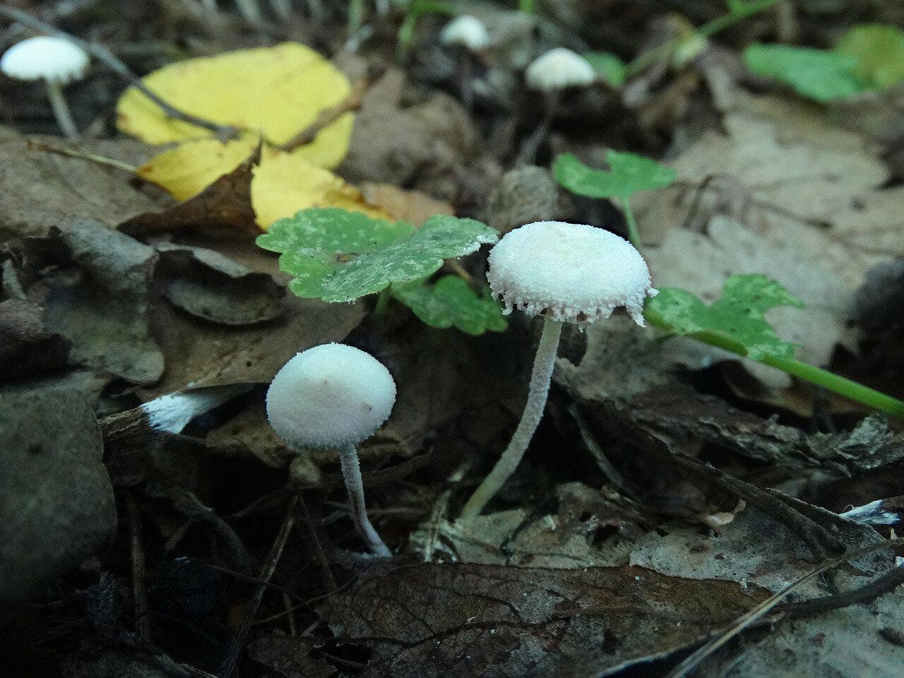 Цистолепиота семинуда (Cystolepiota seminuda). Автор фото: Привалова Марина