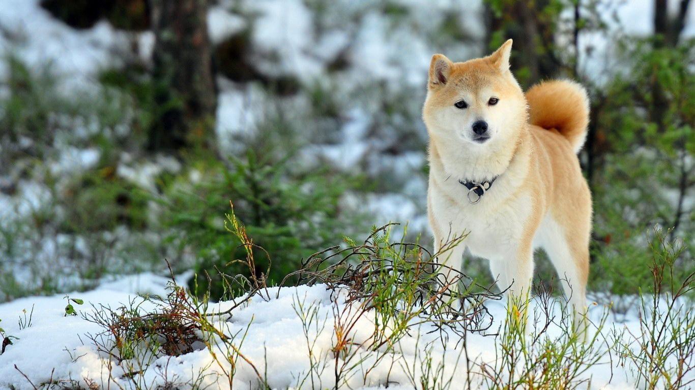 Зимовий пес