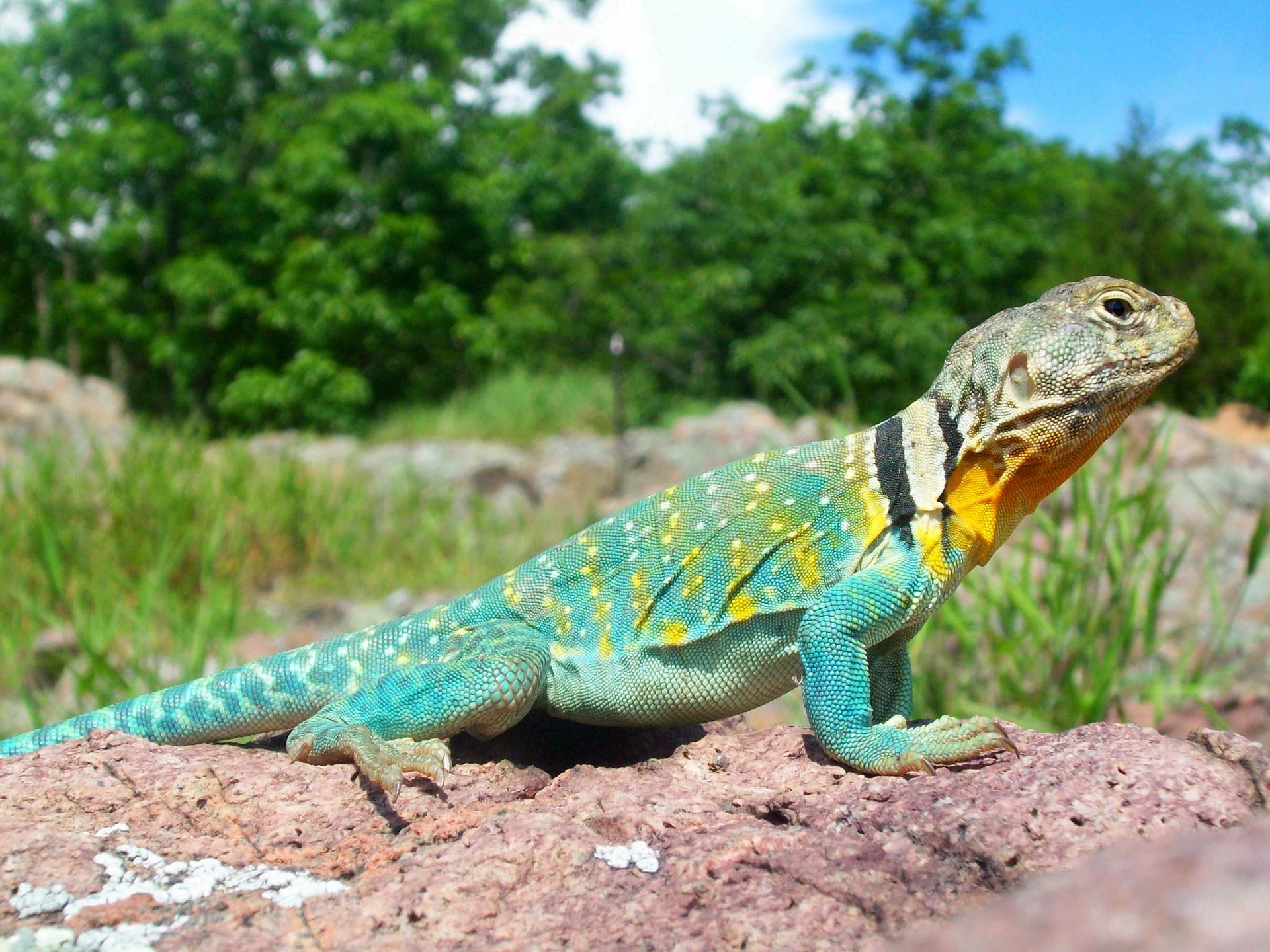 Різнобарвний ящір