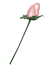 SSS_Roses_Element-5.png