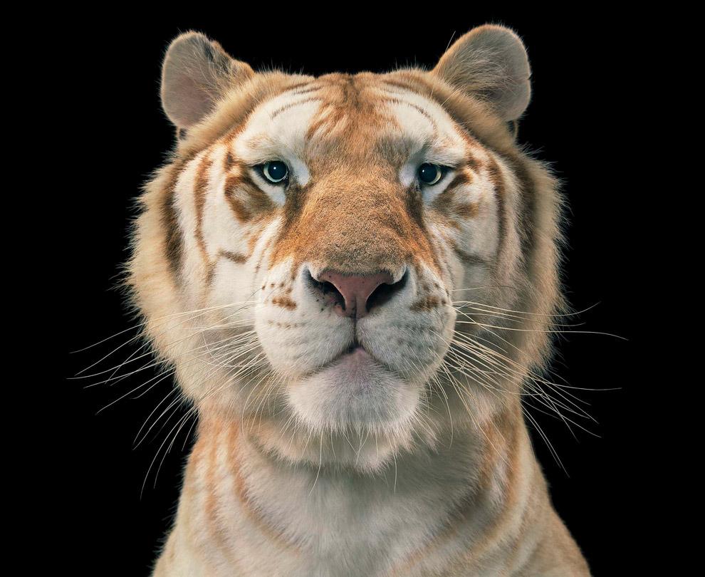 25. Белый бенгальский тигр.