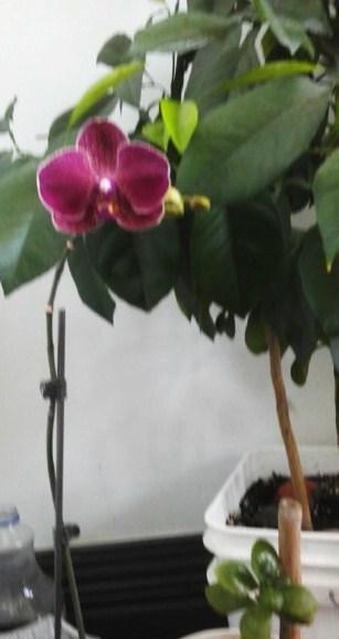 Второе  цветение  орхидеи.