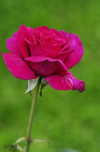 Пьянящий аромат летней розы