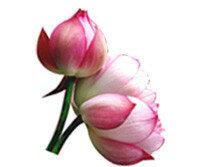 avon_life_6_водяные лилии