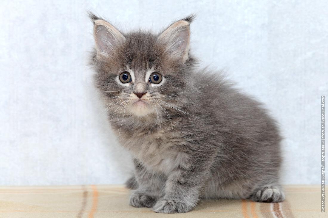 продажа котята мейн кун из питомника
