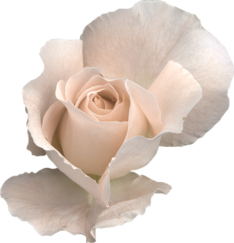 Beautiful Rose #1 (04).png