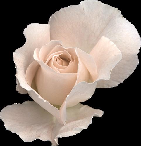 Beautiful Rose #1 (04).png