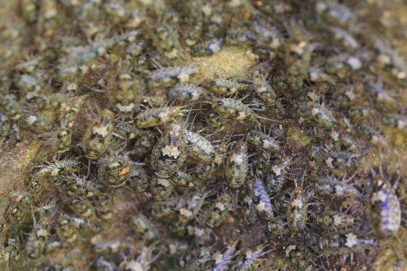 Скопление морских блох во влажной выемке камня над урезом воды