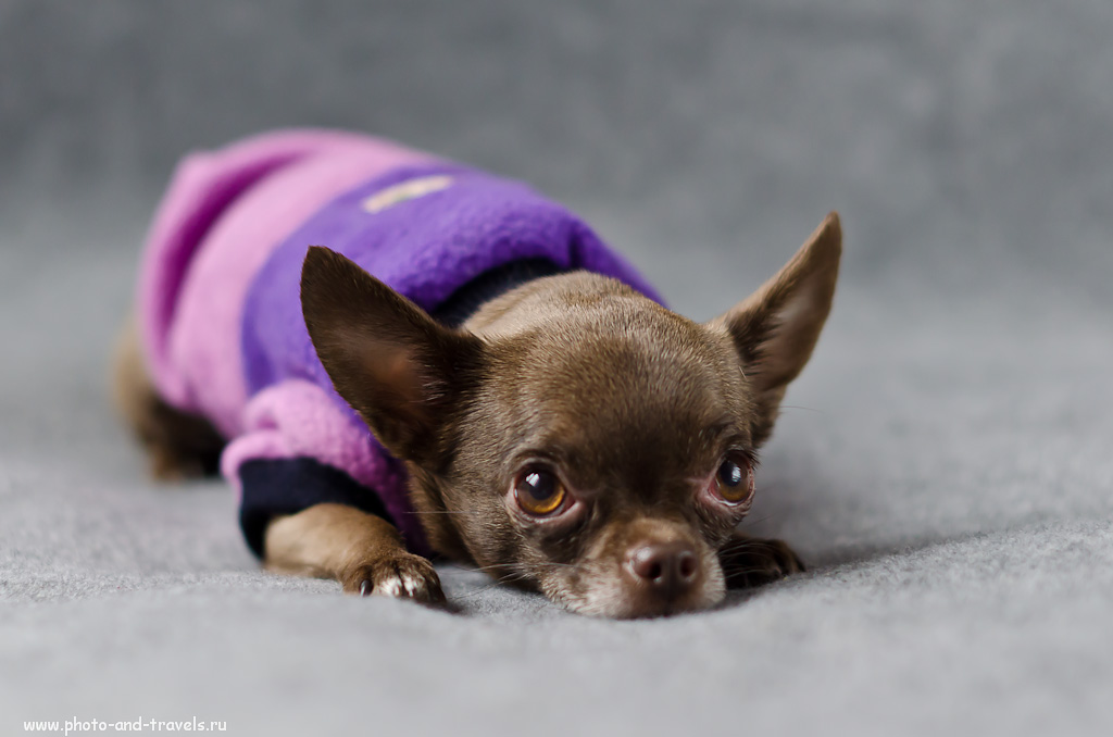 Фотография 5. Уроки фотографии для начинающего фотографа. Не все собаки любят фотографироваться в одежде. (f 2.2; В=1/60; ИСО=800). Примеры съемки на кропнутую фотокамеру Nikon D5100 с линзой Nikon 50mm f/1.4G.